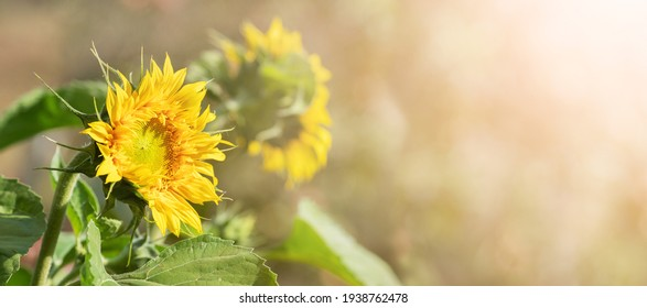 Sunflower flowers on a blurred background in the sun. Copy space