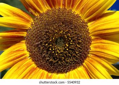 Sunflower - focus on petals