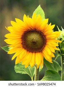 Sunflower with Fresh Green Leaves - Healthy Lifestyles, Organic Farming, wellness concept