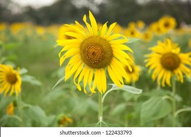 Sunflower in full bloom flowers planted in the garden.