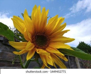 A sunflower fully open and flowering next to brown fence growing  in the shade