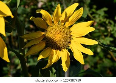Sunflower in the garden