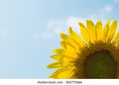 Sunflower in garden, Sunflower close up and blue sky in Thailand. Asia