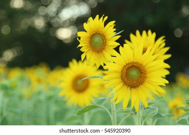 sunflower in the garden with day light