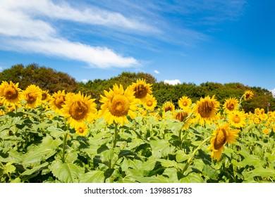 Sunflower garden in Hitachi seaside park