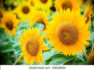 Sunflower in a garden look for  beautiful