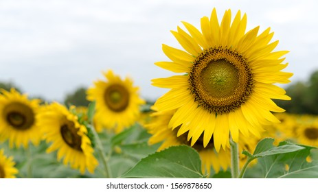 sunflower, sunflower garden in the reservir, flower