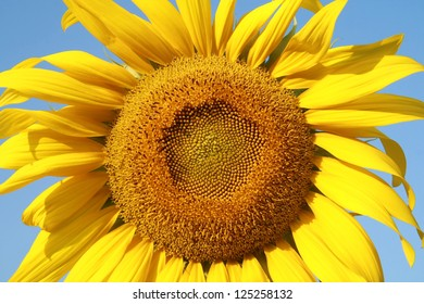 sunflower garden, yellow sunflower leave pollen flower and blue sky and copy space , seed of petals flower background, agriculture harvest