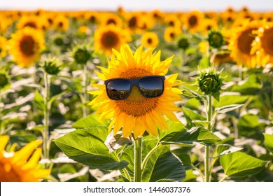 Sunflower in glasses on a sunflower field