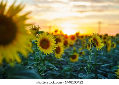 Sunflower At Goldenhour In A Field