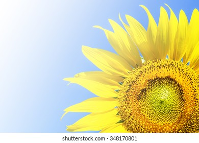Sunflower with gradient light on blue background