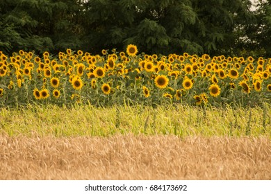 Sunflower and grain fields