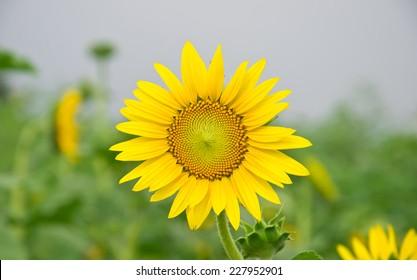 Sunflower green background