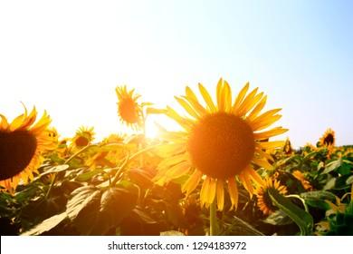 Sunflower grow in the wild