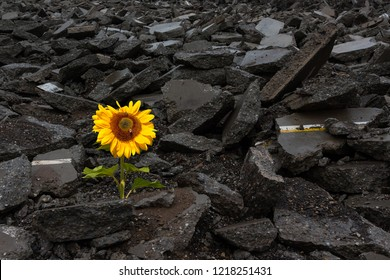 Sunflower growing on a Pile of Rubble