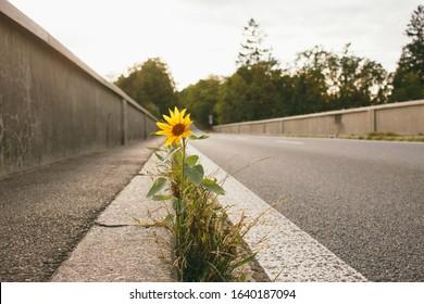 Sunflower growing on road bridge. Author processing, film effect, selective focus