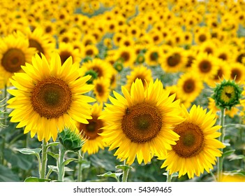 Sunflower grows on the field