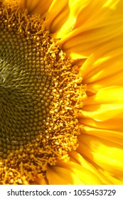 Sunflower Half View