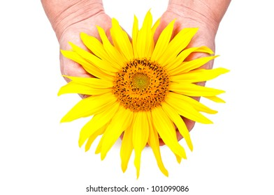 sunflower in hand isolated on a white background