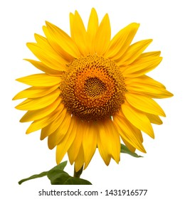 Sunflower head isolated on white background. Sun symbol. Flowers yellow, agriculture. Seeds and oil. Flat lay, top view. Bio. Eco. Creative