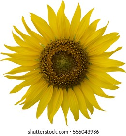 Sunflower head on an isolated white background