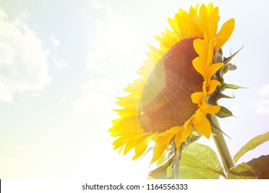 sunflower head stuffed with seeds on the background of the Sunny sky