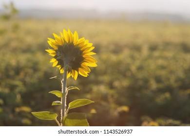 sunflower head turned toward the sun in the morning.