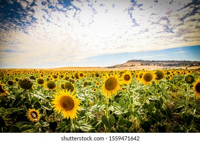 Sunflower Heaven in Carmona city in Andalusia, Spain