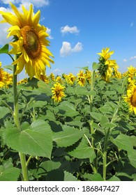 Sunflower (Helianthus annuus) flowers rows in the field against a blue sky