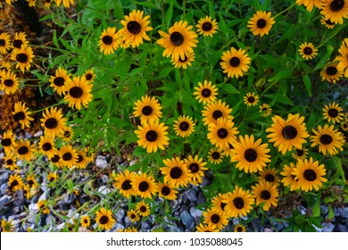 Sunflower (Helianthus annuus) is a perennial plant belonging to the Asteraceae family, and the flowers are foliage.
