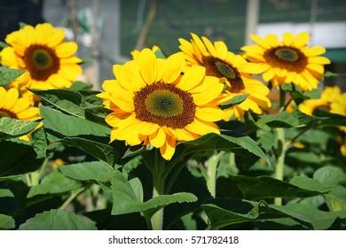 Sunflower (Helianthus) blooming flowers in sunlight