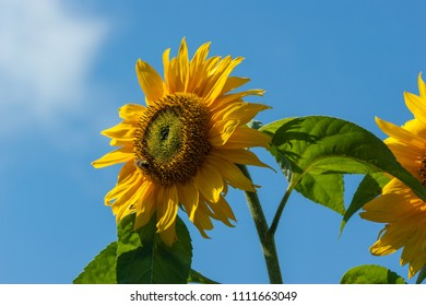 Sunflower (Helianthus) with insects against a blue sky