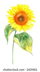 sunflower illustration on white background