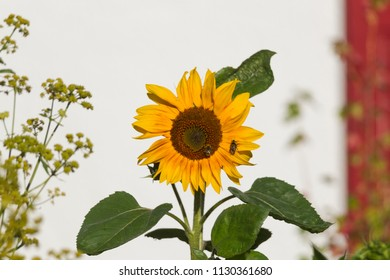 Sunflower with insects in a cottage garden