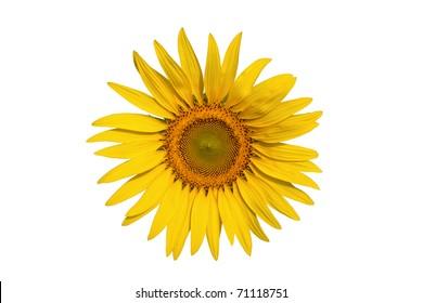 sunflower isolate on write background
