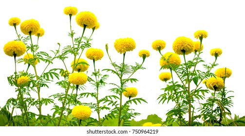 The sunflower isolated
