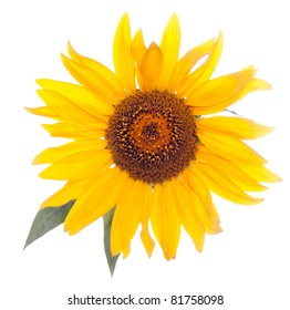 sunflower, isolated, close-up.
