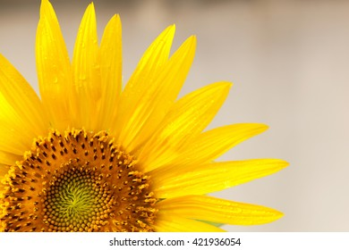 Sunflower isolated on  background