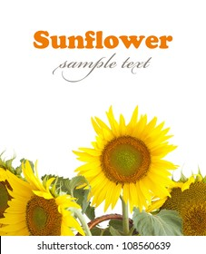 Sunflower isolated on white background. With sample text and clipping path included