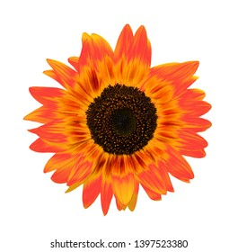 Sunflower isolated on white background. Orange Helianthus or sunflower head close up. Top view