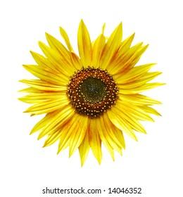 Sunflower isolated on white background