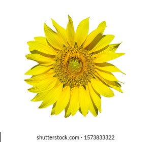 sunflower isolated on white background, clipping paths