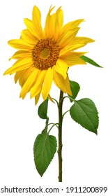 Sunflower isolated on white background. Sun symbol. Flowers yellow, agriculture. Seeds and oil. Flat lay, top view. Bio. Eco. Creative