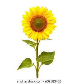 Sunflower isolated on white background. Flat lay, top view. Flower