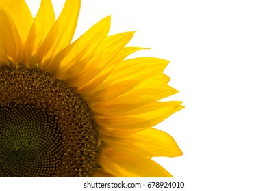 The Sunflower isolated on white background