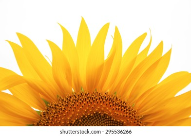 Sunflower isolated on white background;sun raise