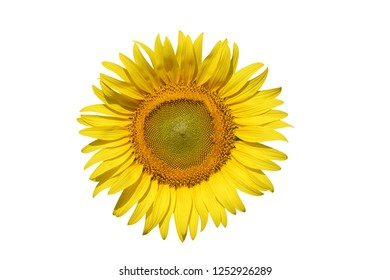 Sunflower isolated on white background.With clipping path.