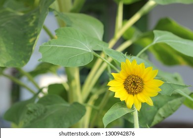 Sunflower latin name Heliantus annuus L, is an annual plant that has a phototropism movement, Phototropism is the movement of the body of a plant that follows light stimulation