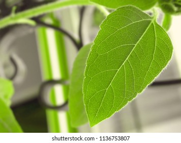 Sunflower Leaf - Macro