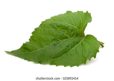 A sunflower leaf on white